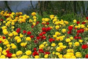 Ранункулюс фото цветы