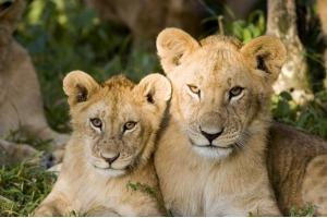 Львы и тигры фото