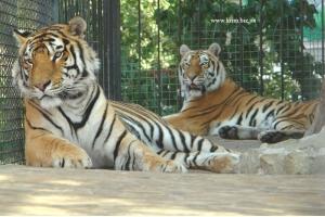 Бенгальские тигры фото