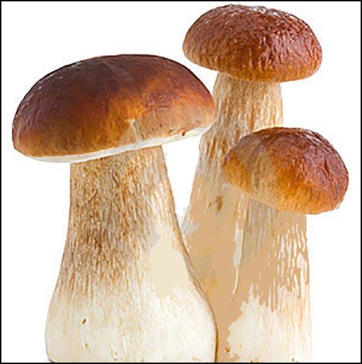 Картинки гриба боровика для детей
