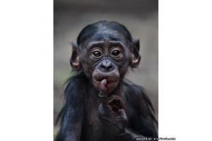 Прикольные фото шимпанзе