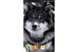 Картинки волков красивые маленькие для профеля