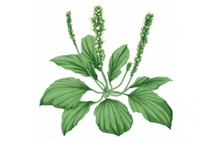 Картинки лекарственные растения для детей