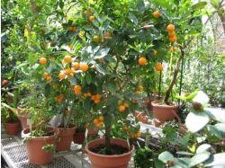 Экзотические фрукты фото цитрусовые