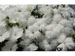Картинки цветы гвоздика