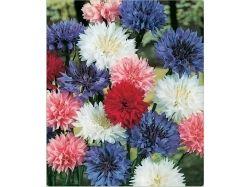 Василёк голубой шар фото цветы