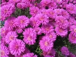 Фото цветы букеты астры