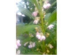 Лаванда фото цветов