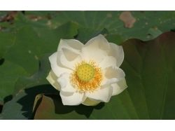Цветок лотоса фото