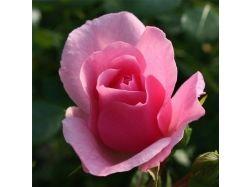 Цветы розы красивые фото