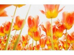 Красивые картинки на рабочий стол большой формат тюльпаны 2