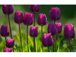 Красивые картинки на рабочий стол большой формат тюльпаны 3