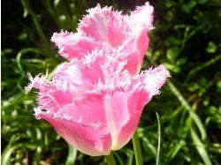 Красивые картинки на рабочий стол большой формат тюльпаны 4