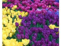 Красивые картинки на рабочий стол большой формат тюльпаны 5