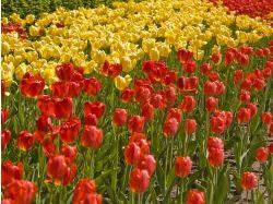 Красивые картинки на рабочий стол большой формат тюльпаны 6