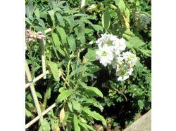 Левкои фото цветов