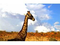 Обои на рабочий жираф 1