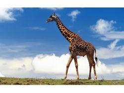 Обои на рабочий жираф 2