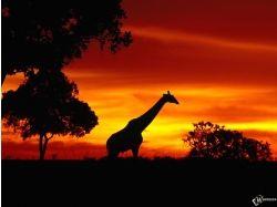 Обои на рабочий жираф 3
