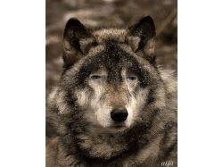 Картинки волки красивые фэнтези 2