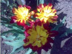 Комнатные цветы луковичные фото