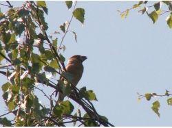 Птица дубонос фото