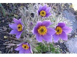 Цветы рябчик императорский фото