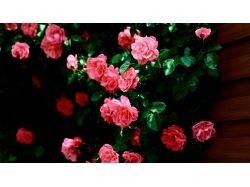 Красивые розы картинки