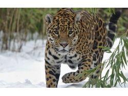ягуар животное фото