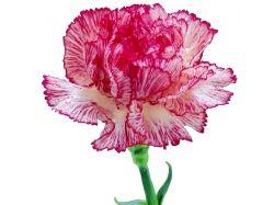 Картинки цветов гвоздики