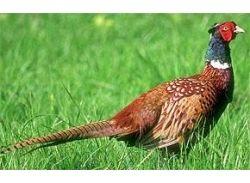 Птица фазан фото