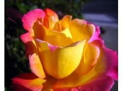 Фото цветы роза