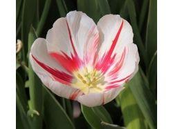 Фотографии тюльпанов