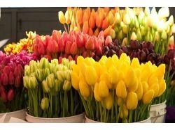 Тюльпаны красивые картинки
