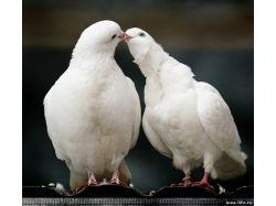 Красивые картинки голубей