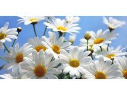 Цветы ромашки картинки