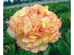 Комнатные луковичные цветы фото и названия