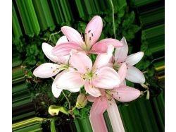 Картинки лилий цветов