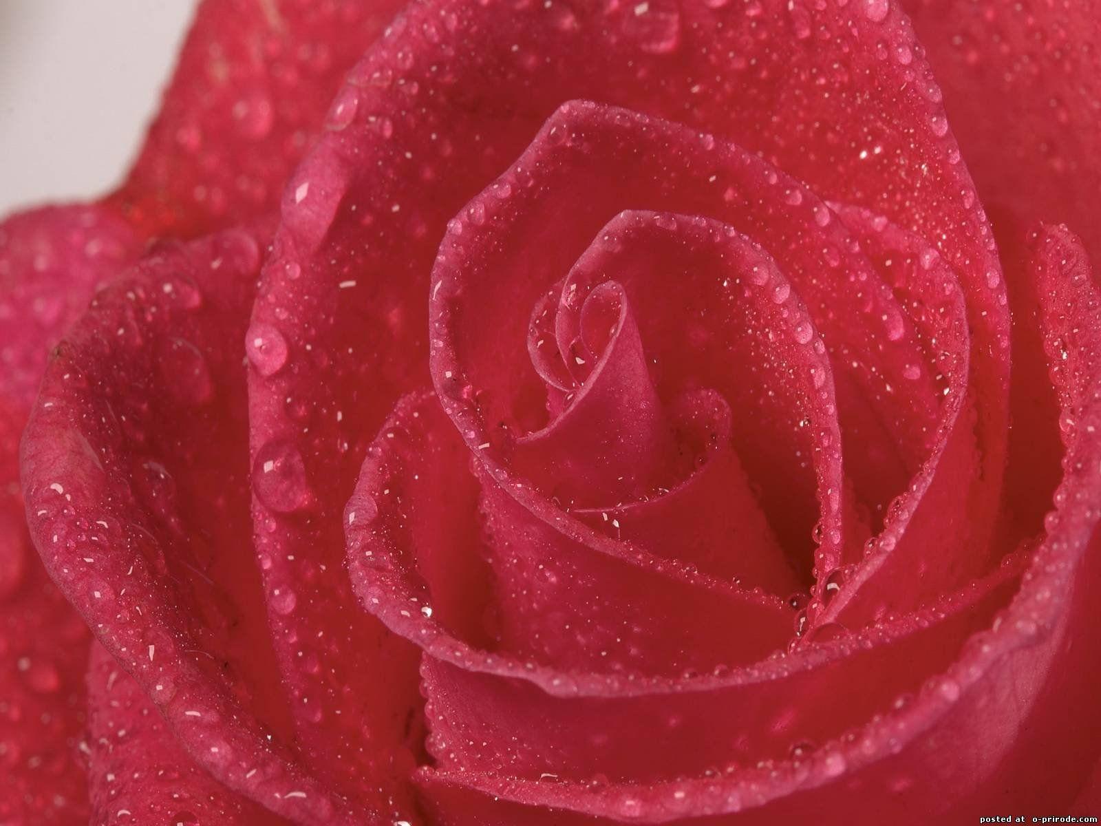 роза, блестит, бутон загрузить
