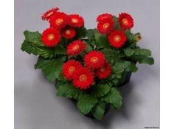 Цветы фото герберы