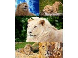 Обои с львами