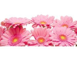 Фото цветы герберы