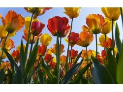 Фото тюльпанов скачать бесплатно