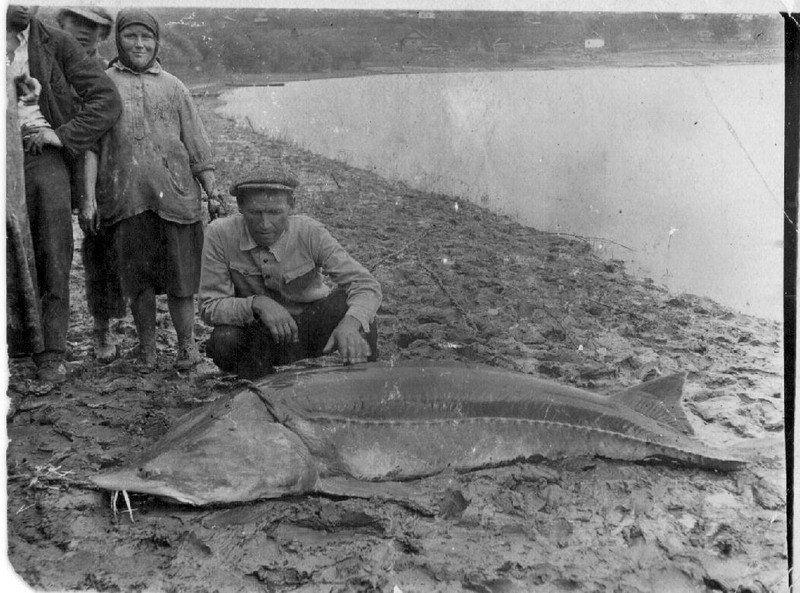 Фото рыбы калуги нижний амур