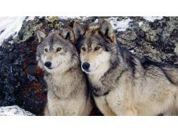 Обои на рабочий стол волки скачать бесплатно