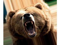 Оскал медведя картинки