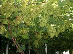 Сорт винограда юбилей новочеркасска фото