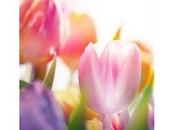 Красивые фотографии тюльпанов