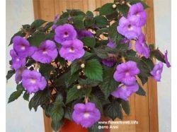 Комнатные цветы картинки и названия 4