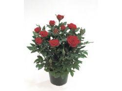 Роза цветы 2